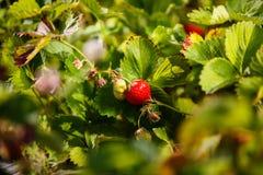 La bacca rossa, una fragola ha maturato su un cespuglio nel campo Agricoltura per piantare le bacche Fotografia Stock