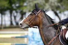 La bahía hermosa coloreó el primer de la cabeza de caballo del deporte en la demostración que saltaba e Imagen de archivo libre de regalías
