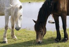 La bahía y el caballo blanco pastan en un césped verde   Fotografía de archivo