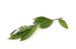 La baia fresca lascia il ramo isolato su fondo bianco Immagini Stock