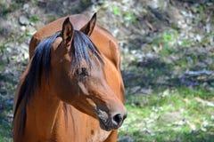 La baia ha colorato il cavallo nel profilo con lo spazio della copia Fotografia Stock
