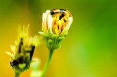 La baisse de rosée sur le pollen de marguerite Photo libre de droits