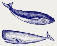 La baleine de bosse Images libres de droits