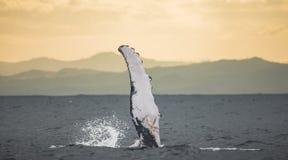 La baleine de bosse d'aileron madagascar Île du ` s de St Mary Image stock