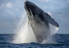 La baleine de bosse saute de l'eau Beau saut Une photographie rare madagascar Île du ` s de St Mary Images libres de droits