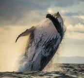La baleine de bosse saute de l'eau Beau saut Une photographie rare madagascar Île du ` s de St Mary Image libre de droits