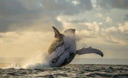 La baleine de bosse saute de l'eau Beau saut Une photographie rare madagascar Île du ` s de St Mary Photographie stock