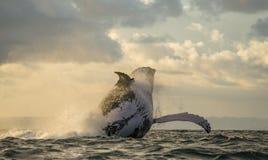 La baleine de bosse saute de l'eau Beau saut Une photographie rare madagascar Île du ` s de St Mary Photo stock