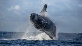 La baleine de bosse saute de l'eau Beau saut Une photographie rare madagascar Île du ` s de St Mary Images stock