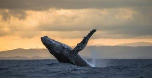 La baleine de bosse saute de l'eau Beau saut Une photographie rare madagascar Île du ` s de St Mary Photo libre de droits