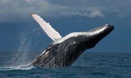 La baleine de bosse saute de l'eau madagascar Île du ` s de St Mary Photos stock