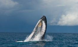 La baleine de bosse saute de l'eau madagascar Île du ` s de St Mary Photo stock