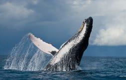 La baleine de bosse saute de l'eau madagascar Île du ` s de St Mary Image libre de droits