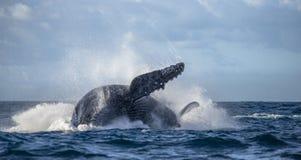 La baleine de bosse saute de l'eau madagascar Île du ` s de St Mary Images stock