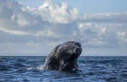 La baleine de bosse saute de l'eau madagascar Île du ` s de St Mary Photographie stock libre de droits