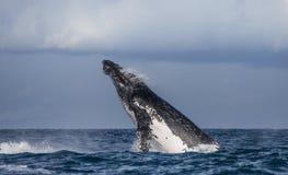 La baleine de bosse saute de l'eau madagascar Île du ` s de St Mary Images libres de droits