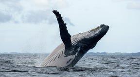 La baleine de bosse saute de l'eau madagascar Île du ` s de St Mary Photographie stock
