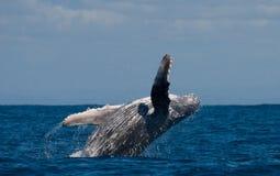 La baleine de bosse saute de l'eau madagascar Île du ` s de St Mary Image stock