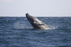 La baleine sautent Photographie stock