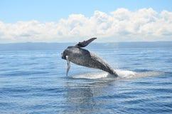 La baleine sautent Image stock