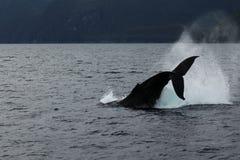 La baleine sautent Images libres de droits