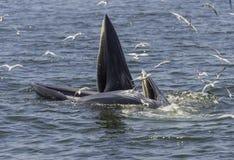 La balena apre la bocca per mangiare il piccolo pesce Fotografia Stock Libera da Diritti