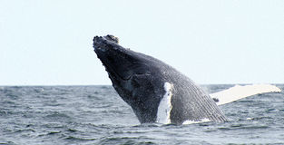 La balena di Humpback salta Fotografia Stock Libera da Diritti
