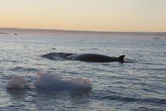La balena minke nel Ocean-1 del sud. Fotografie Stock