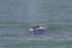 La ballena de Bruda Imagen de archivo libre de regalías
