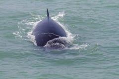 La ballena de Bruda Fotografía de archivo