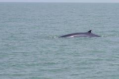 La ballena de Bruda Imagenes de archivo