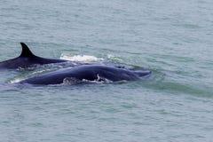 La ballena de Bruda Imagen de archivo