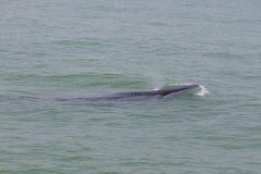La ballena de Bruda Foto de archivo libre de regalías