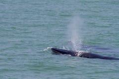 La ballena de Bruda Foto de archivo