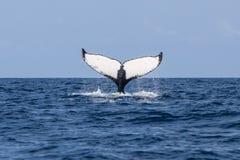 La ballena jorobada aumenta la platija del océano Imagen de archivo libre de regalías
