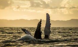 La ballena jorobada de la aleta madagascar Isla del ` s de St Mary imagenes de archivo