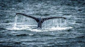 La ballena jorobada desaparece en el océano imagen de archivo libre de regalías
