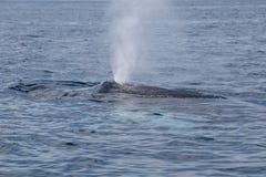 La ballena jorobada exhala en el mar del Caribe Fotografía de archivo