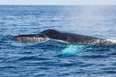 La ballena jorobada exhala en el mar del Caribe Fotos de archivo