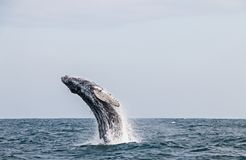 La ballena jorobada que salta en el Oc?ano Pac?fico peruano Primer estiramiento fotos de archivo