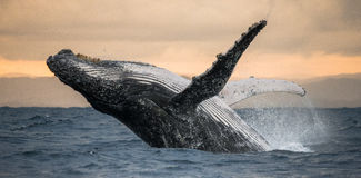 La ballena jorobada salta del agua Salto hermoso Una fotografía rara madagascar Isla del ` s de St Mary Imagen de archivo libre de regalías