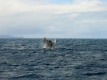 La ballena que salta en el océano Fotografía de archivo libre de regalías