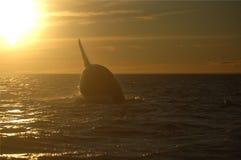 La ballena que salta en la puesta del sol Fotografía de archivo libre de regalías