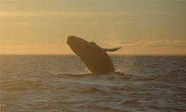 La ballena que salta en la puesta del sol Imágenes de archivo libres de regalías