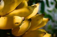 La banana è frutta che è improbabile da ottenere l'energia molto, ma la crede o non, le riserve delle risorse della banana prime  Fotografia Stock Libera da Diritti