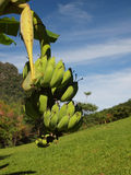 La banana fotografie stock libere da diritti