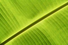 La banana lascia la struttura Immagini Stock Libere da Diritti