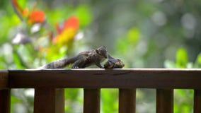 la banana mangia lo scoiattolo video d archivio