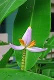 La banane de floraison fleurissent en tant qu'usines décoratives dans le secteur de la communauté résidentiel Photographie stock