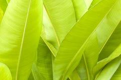 La banane laisse la nature Photographie stock